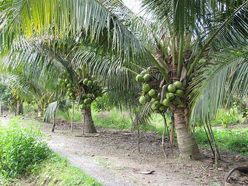 ta cay dua lop 2 1 - Top 10 bài văn mẫu hay tả cây dừa lớp 2 chọn lọc
