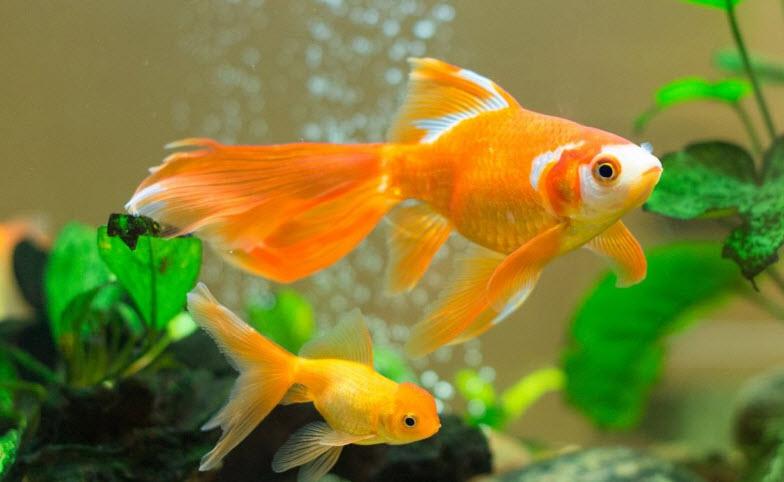 ta con ca vang lop 2 - Top 8 bài văn mẫu tả con cá vàng lớp 2 chọn lọc