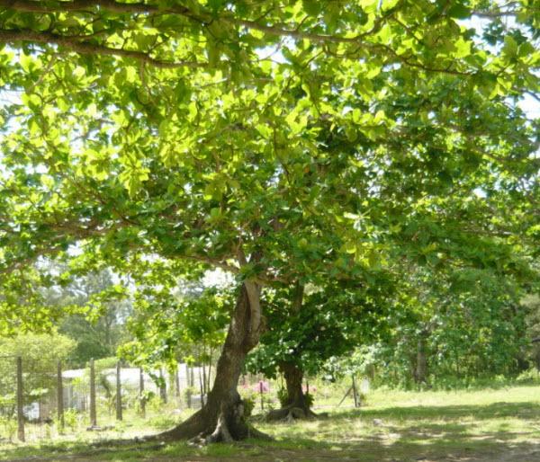 ta cay bàng lop 3 - Top 10 bài văn mẫu tả cây bàng lớp 3 chọn lọc