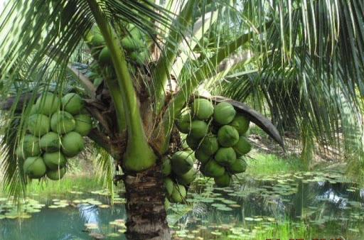 ta cay dua lop 3 1 - Top 10 bài văn mẫu tả cây dừa lớp 3 chọn lọc