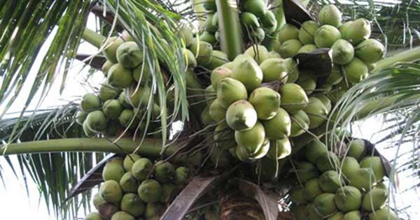 ta cay dua lop 3 2 - Top 10 bài văn mẫu tả cây dừa lớp 3 chọn lọc