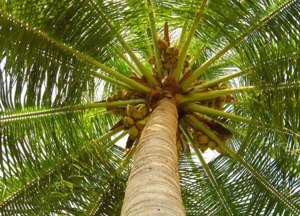 ta cay dua lop 3 - Top 10 bài văn mẫu tả cây dừa lớp 3 chọn lọc