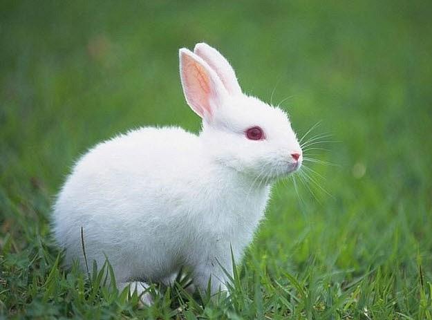 ta con tho lop 3 1 - Top 10 bài văn mẫu tả con thỏ lớp 3 chọn lọc