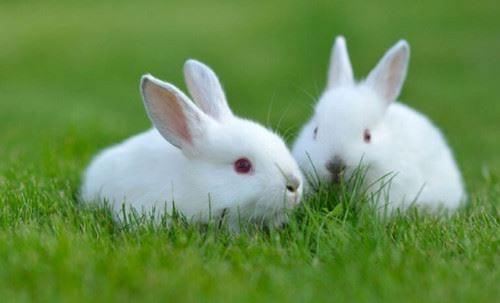 ta con tho lop 3 - Top 10 bài văn mẫu tả con thỏ lớp 3 chọn lọc