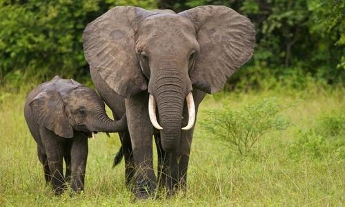 ta con voi trong vuon thu trong rap xiec lop 4 1 - Top 10 bài văn mẫu tả con voi trong vườn thú, trong rạp xiếc lớp 4 chọn lọc