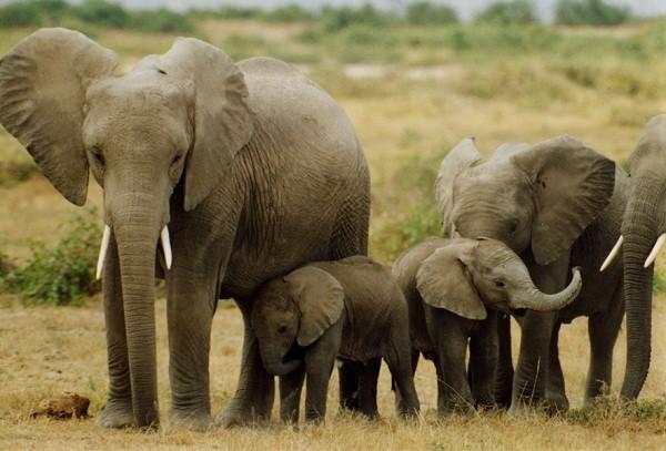 ta con voi trong vuon thu trong rap xiec lop 4 2 - Top 10 bài văn mẫu tả con voi trong vườn thú, trong rạp xiếc lớp 4 chọn lọc