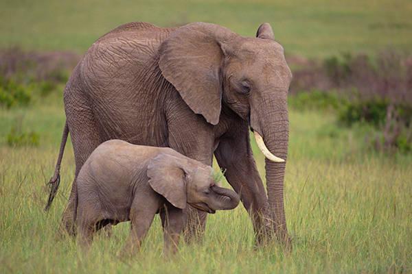ta con voi trong vuon thu trong rap xiec lop 4 - Top 10 bài văn mẫu tả con voi trong vườn thú, trong rạp xiếc lớp 4 chọn lọc