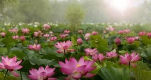 ta hoa sen lop 2 2 310x165 - Top 10 bài văn mẫu tả hoa sen lớp 2 chọn lọc