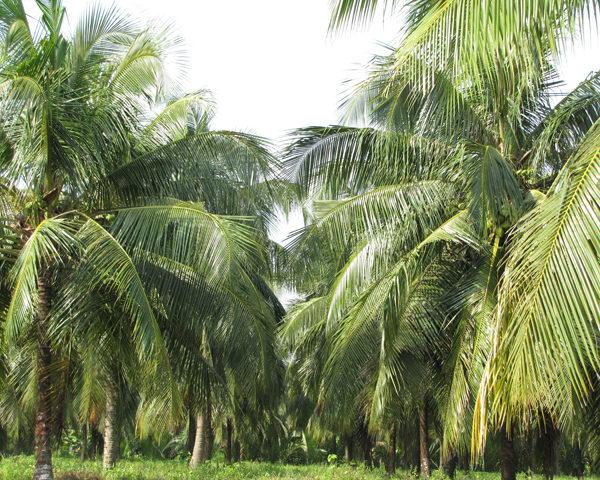 thuyet minh ve cay dưa que em lop 9 1 - Top 10 bài văn mẫu Thuyết minh về cây dừa quê em lớp 9 chọn lọc