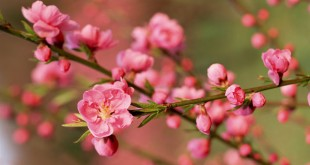 thuyet minh ve cay hoa dao lop 9 2 310x165 - Top 10 bài văn mẫu Thuyết minh về cây hoa đào lớp 9 chọn lọc