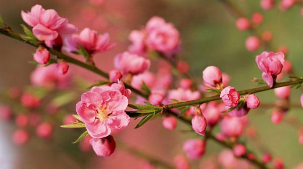 thuyet minh ve cay hoa dao lop 9 2 - Top 10 bài văn mẫu Thuyết minh về cây hoa đào lớp 9 chọn lọc