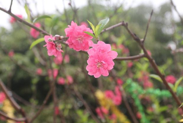 thuyet minh ve cay hoa dao lop 9 - Top 10 bài văn mẫu Thuyết minh về cây hoa đào lớp 9 chọn lọc