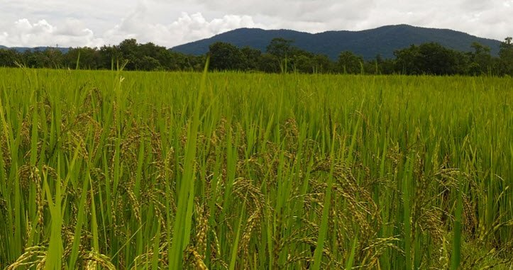 thuyet minh ve cay lua viet nam lop 9 1 - Top 10 bài văn mẫu Thuyết minh về cây lúa Việt Nam lớp 9 chọn lọc