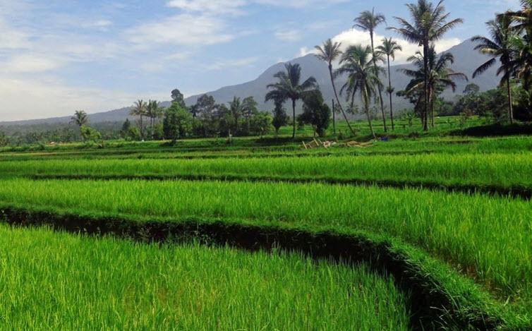 thuyet minh ve cay lua viet nam lop 9 - Top 10 bài văn mẫu Thuyết minh về cây lúa Việt Nam lớp 9 chọn lọc