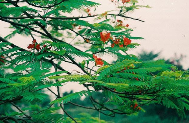 thuyet minh ve cay phuong vi lop 9 1 - Top 10 bài văn mẫu Thuyết minh về cây phượng vĩ lớp 9 chọn lọc