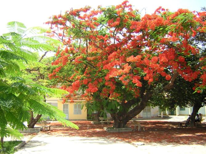 thuyet minh ve cay phuong vi lop 9 2 - Top 10 bài văn mẫu Thuyết minh về cây phượng vĩ lớp 9 chọn lọc