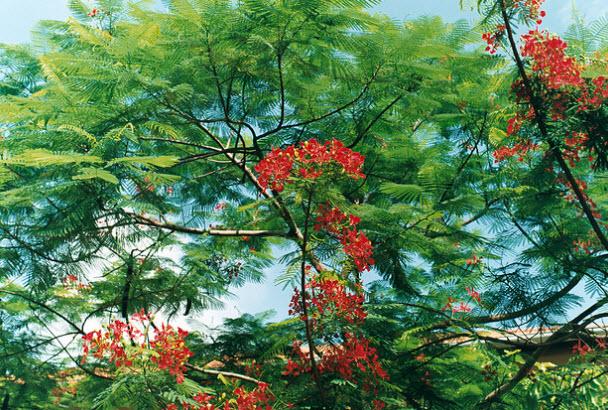 thuyet minh ve cay phuong vi lop 9 - Top 10 bài văn mẫu Thuyết minh về cây phượng vĩ lớp 9 chọn lọc