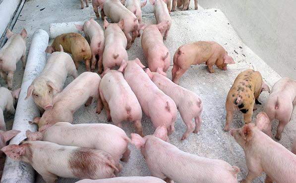 thuyet minh ve con lon lop 9 con heo 1 - Top 10 bài văn mẫu Thuyết minh về con lợn lớp 9 (con heo) chọn lọc