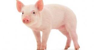 thuyet minh ve con lon lop 9 con heo 2 310x165 - Top 10 bài văn mẫu Thuyết minh về con lợn lớp 9 (con heo) chọn lọc