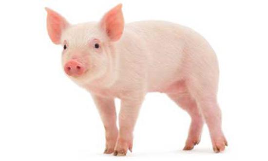 thuyet minh ve con lon lop 9 con heo 2 - Top 10 bài văn mẫu Thuyết minh về con lợn lớp 9 (con heo) chọn lọc