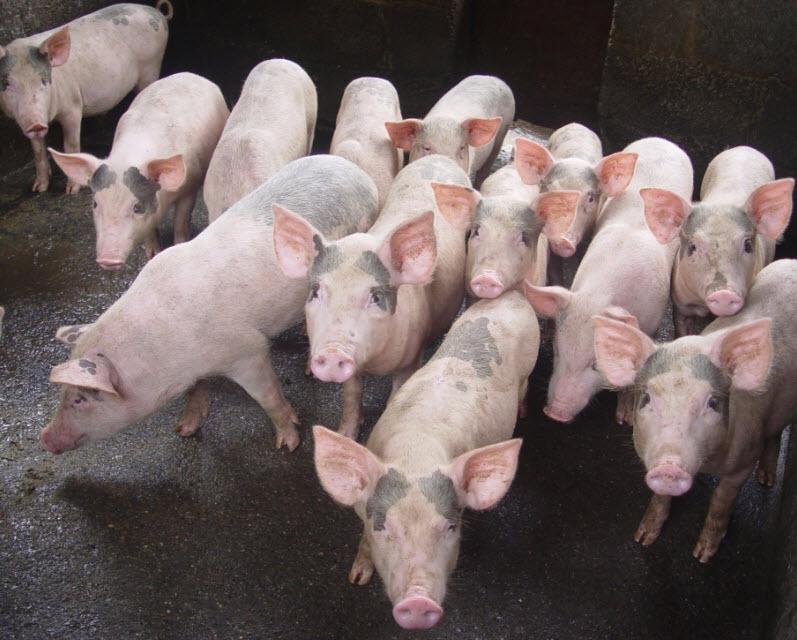 thuyet minh ve con lon lop 9 con heo - Top 10 bài văn mẫu Thuyết minh về con lợn lớp 9 (con heo) chọn lọc