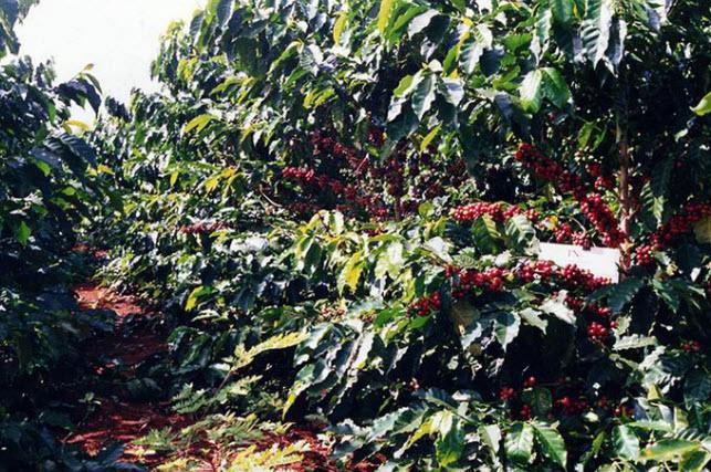 thuyet minh ve cay ca phe 1 - Top 7 bài văn mẫu thuyết minh về cây cà phê lớp 9 chọn lọc