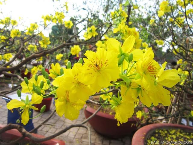 thuyet minh ve cay hoa mai lop 9 1 - Top 10 bài văn mẫu Thuyết minh về cây hoa mai lớp 9 chọn lọc