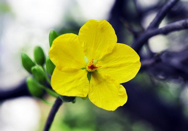 thuyet minh ve cay hoa mai lop 9 2 - Top 10 bài văn mẫu Thuyết minh về cây hoa mai lớp 9 chọn lọc