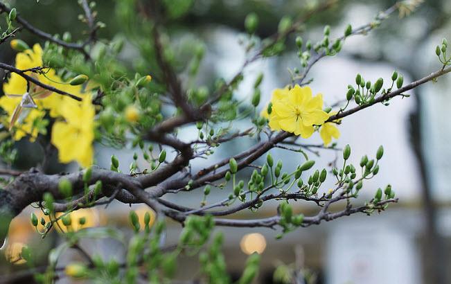 thuyet minh ve cay hoa mai lop 9 - Top 10 bài văn mẫu Thuyết minh về cây hoa mai lớp 9 chọn lọc