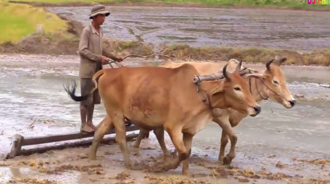 thuyet minh ve con bo lop 9 2 - Top 5 bài văn mẫu Thuyết minh về con bò lớp 9 chọn lọc
