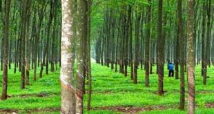 thuyet minh ve cay cao su lop 9 2 310x165 - Top 6 bài văn mẫu Thuyết minh về cây cao su lớp 9 chọn lọc
