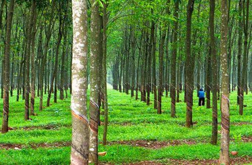 thuyet minh ve cay cao su lop 9 2 - Top 6 bài văn mẫu Thuyết minh về cây cao su lớp 9 chọn lọc
