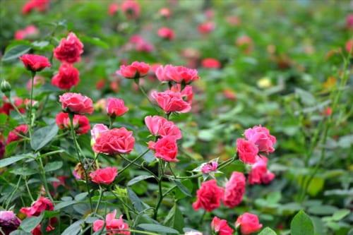 thuyet minh ve hoa hong lop 9 1 - Top 8 bài văn mẫu Thuyết minh về hoa hồng lớp 9 chọn lọc