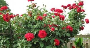 thuyet minh ve hoa hong lop 9 2 310x165 - Top 8 bài văn mẫu Thuyết minh về hoa hồng lớp 9 chọn lọc